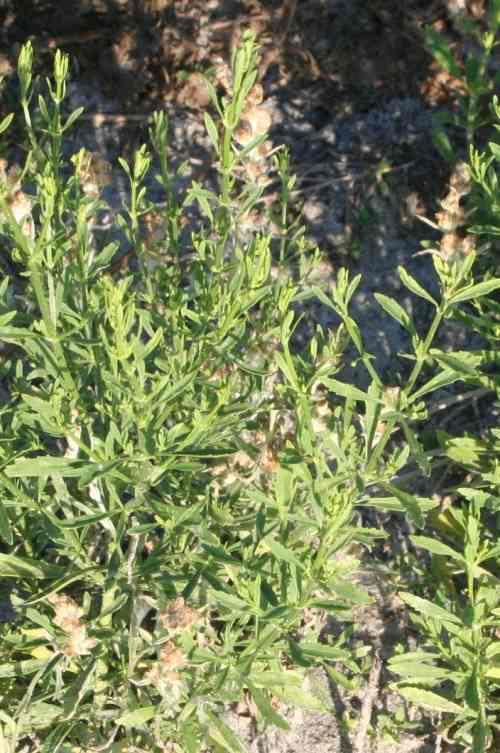 Cam thảo đất