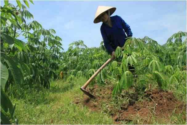 Góp phần nghiên cứu chất độc trong cây sắn