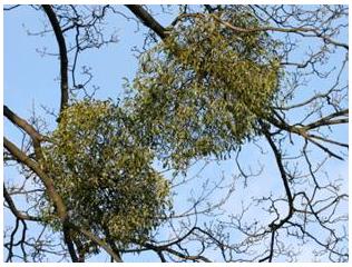 Nghiên cứu bước đầu về hoạt tính sinh học trong Tầm gửi cây Nghiến