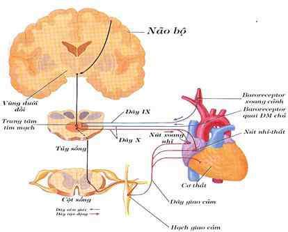 Các chất dẫn truyền, các receptor thuộc hệ thần kinh thực